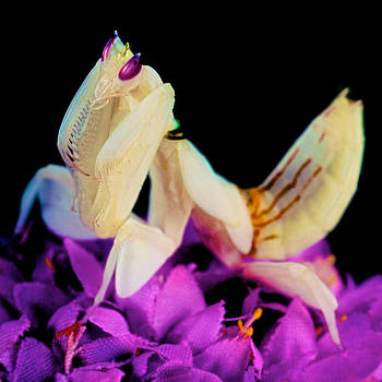Orchid Female Mantis  hymenopus coronatus  8 of 10 by Leslie Crotty