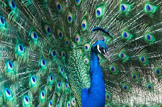 Mark Newman - Peacock