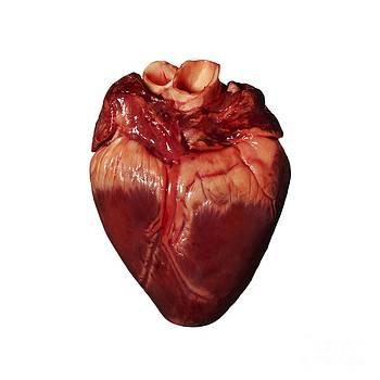 Kevin Curtis - Pigs Heart