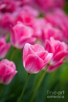 Pink Tulips by Katka Pruskova