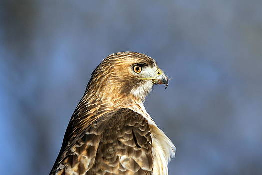 Red Tailed Hawk by Henry Gray