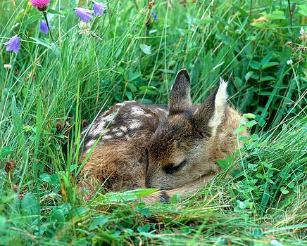 Hans Reinhard - Roe Deer