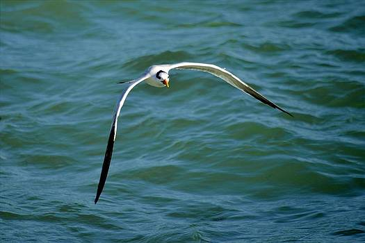 Royal Tern by Bill Hosford