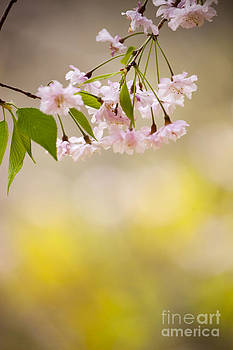 Sakura by Tad Kanazaki