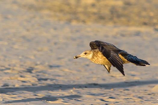 Gaurav Singh - Seagull