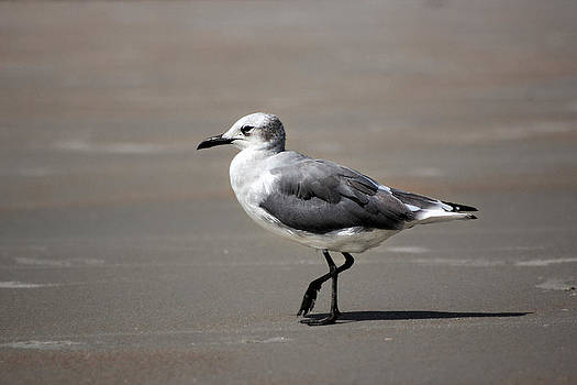 Seagull by George Ferreira