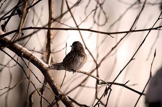 Song Sparrow by Martin Cooper