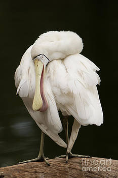 Spoonbill by Craig Dingle