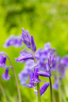 Fizzy Image - Spring bluebells growing in English countryside