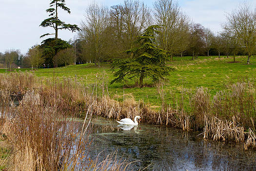 Fizzy Image - swan in river in an  english countryside scene on a cold winter