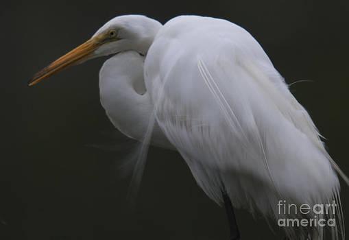 Dale Powell - White Heron Portrait