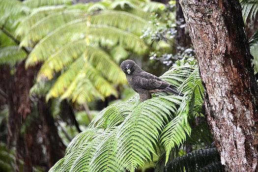 Young 'Io Hawaiian Hawk by Lehua Pekelo-Stearns