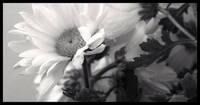 TNT Images - Black and White Daisy - 310030