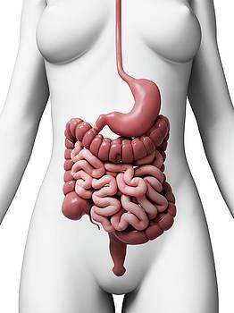 Human Digestive System by Sebastian Kaulitzki