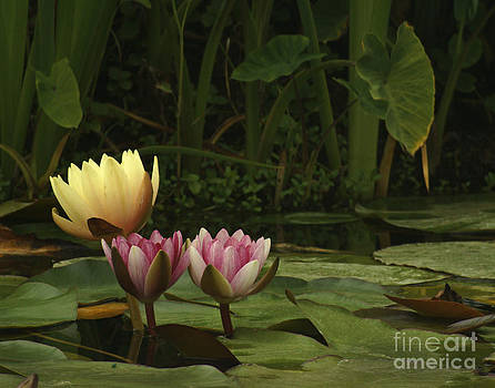 340 Water Flowers  by Lawrence Costales
