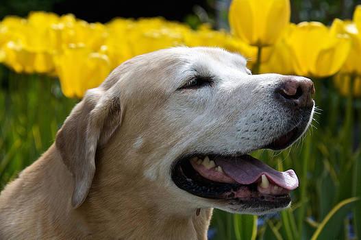 Steven Lapkin - Yellow Labrador
