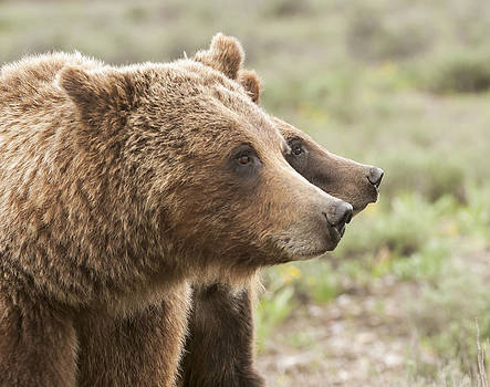 399 and Cub Profile by Amy Gerber