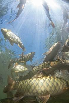 A Large School Of Mahseer Fish by Scubazoo
