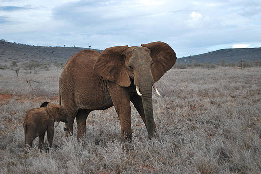 African elephant by Evgeny Lutsko