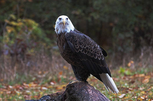 Bald Eagle by Cheryl Cencich