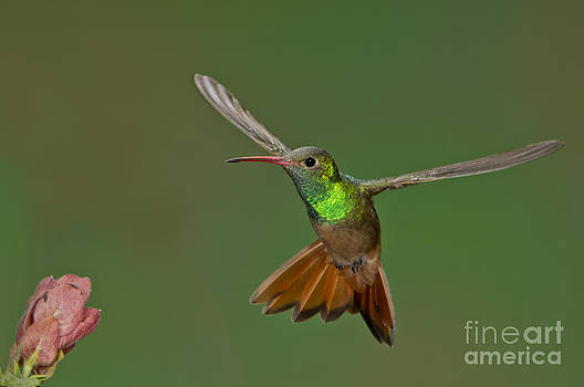 Anthony Mercieca - Buff-bellied Hummingbird