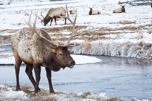 Bull Elk by Michael Chatt