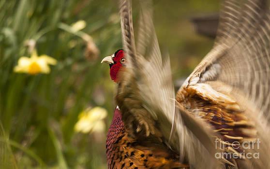 Angel  Tarantella - crowing pheasant