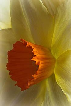 David Pringle - Daffodil