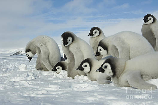 John Shaw - Emperor Penguin Chicks