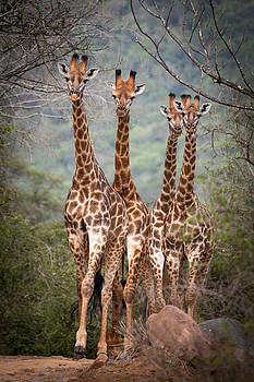 4 Giraffe by Stephanus Le Roux