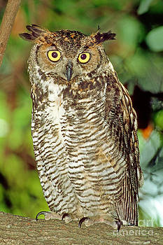 Millard H Sharp - Great Horned Owl