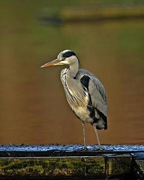 Grey Heron by Paul Scoullar