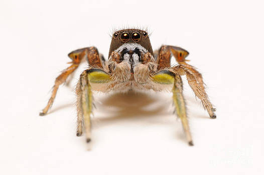 Scott Linstead - Jumping Spider