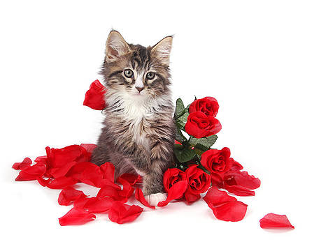 Tabby kitten surrounded by roses. by Perry Harmon