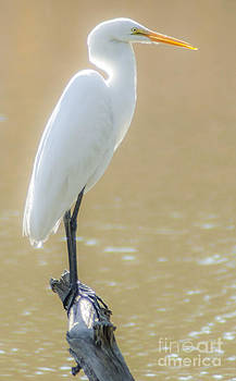 Dale Powell - Still Waters White Heron