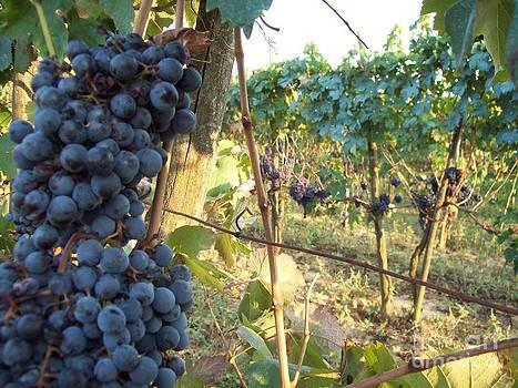Alessandra Di Noto - Wine yards in Loppiano
