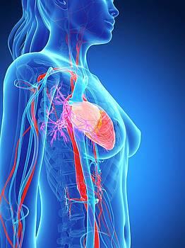 Female Vascular System by Sebastian Kaulitzki
