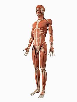Male Muscular System by Sebastian Kaulitzki