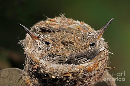 Scott Linstead - Broad Billed Hummingbird