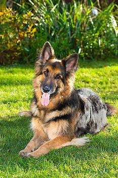 Fizzy Image - german Shepherd dog in the garden