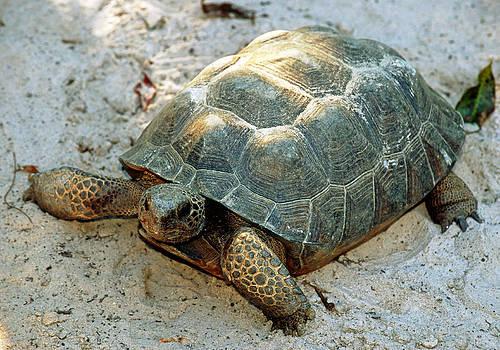Gopher Tortoise by Millard H. Sharp