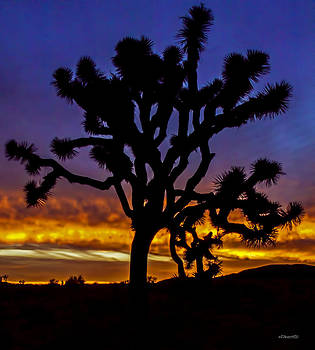 Joshua Tree by Jim Lucas