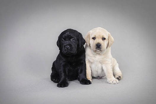 Waldek Dabrowski - Labrador retriever puppies