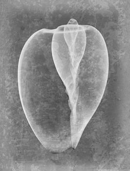Roy Livingston - Sea Shell X-ray Art