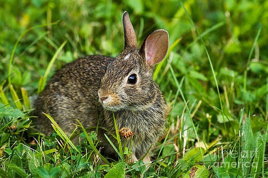 Linda Freshwaters Arndt - Eastern Cottontail