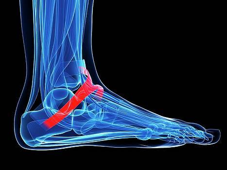 Human Foot Ligament by Sebastian Kaulitzki