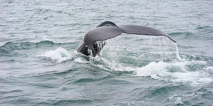 Humpback Whale Iceland by Sigurdur Aegisson