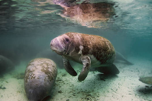 Manatee by Greg Amptman