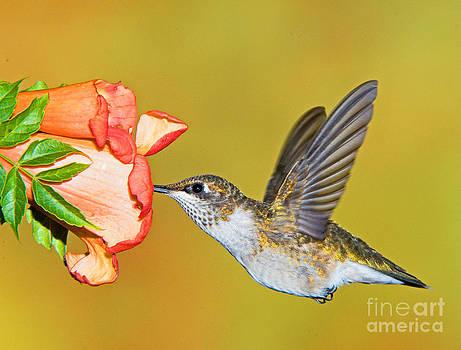 Millard H. Sharp - Ruby Throated Hummingbird