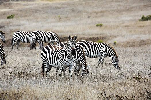 San Simeon Zebras by Jose M Beltran